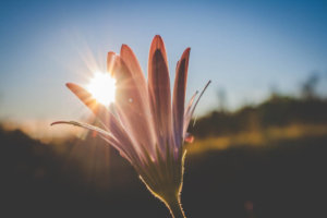 Canva---Pink-Flowers-With-Sunlight