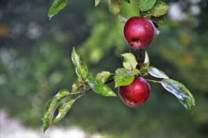 Canva---Apples-in-a-Branch