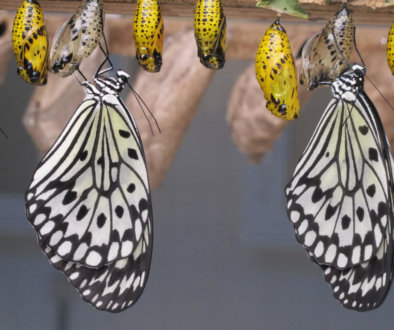 Canva---Butterflies-and-Cocoons